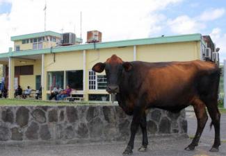 Overheid van St. Eustatius blijft strijden tegen loslopend vee