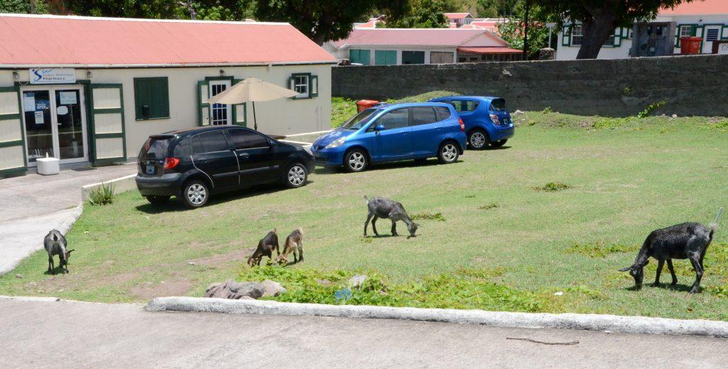 Saba gaat maandag loslopende geiten van straat halen