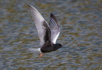 Bonaire heeft twee nieuwe vogelsoorten