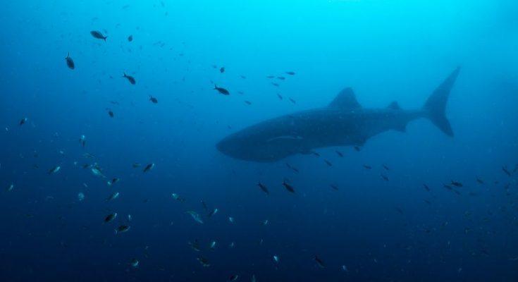 Duikers spotten walvishaai bij Bari Reef Bonaire