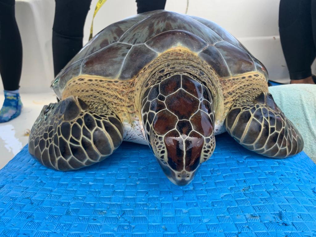 Sea Turtle Conservation Bonaire brengt zeeschildpadden in kaart